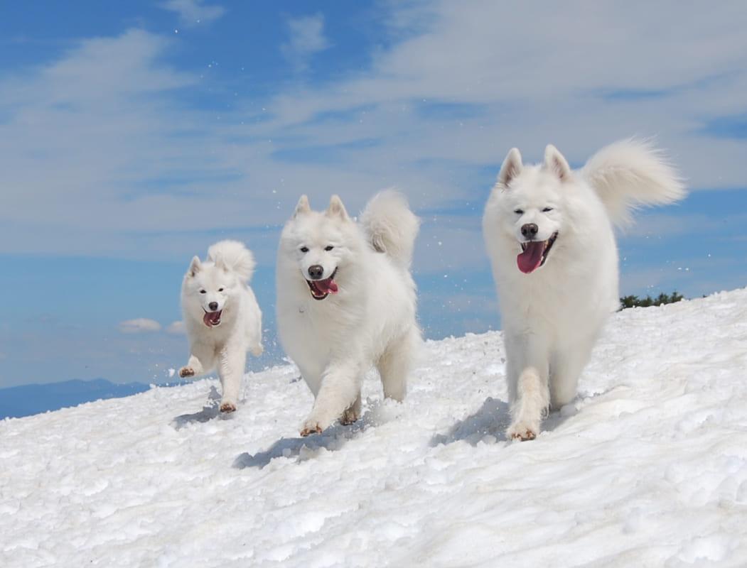 Hướng dẫn chăm sóc và huấn luyện chó Samoyed đơn giản